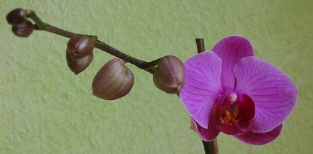 orchidee_juni07