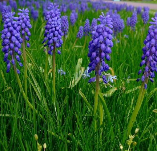 Traubenhyacinthe | Grape Hyacinth