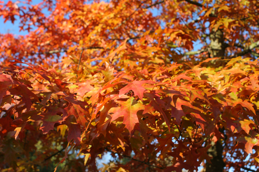 Colorful leaves. Air is clear and nippy.