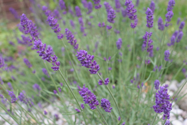 Lavender in front of our house