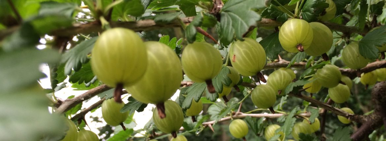Stachelbeeren   Gooseberries