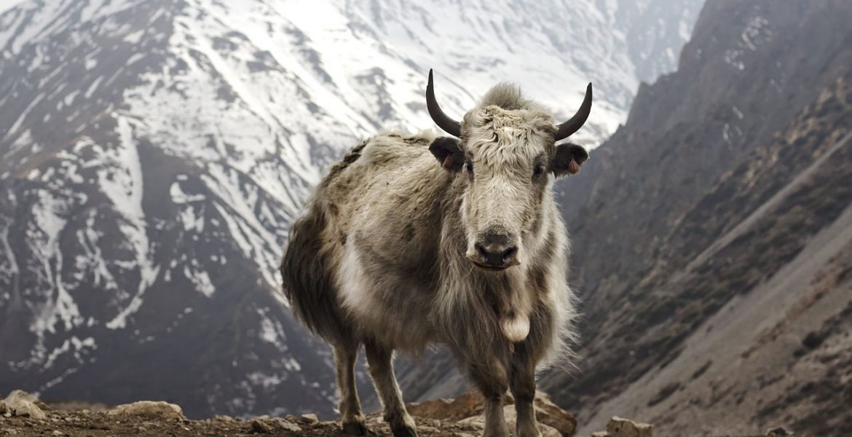 Yak (Bos grunniens) bei Letdar am Annapurna Circuit am Annapurna in Zentral-Nepal.