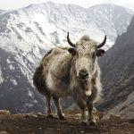 Stricken mit exotischen Wollsorten (Teil 1) :: Yak Wolle::