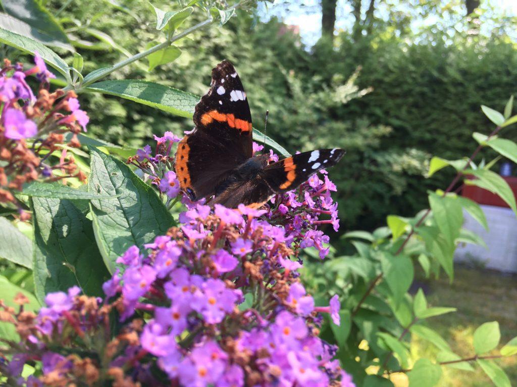 Admiral Schmetterling im Sommerflieder