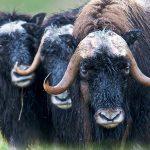 Stricken mit exotischen Wollsorten (Teil 2) :: Quiviut, das Gold der Arktis ::